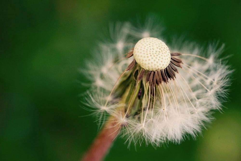 focus photography of white dandelion