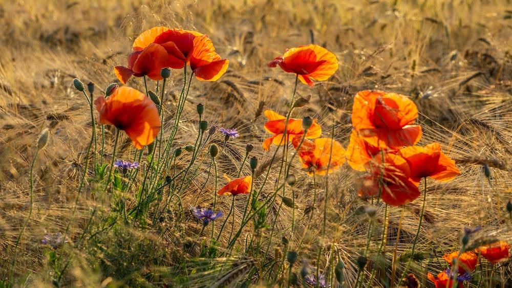 orange petaled wild flowers