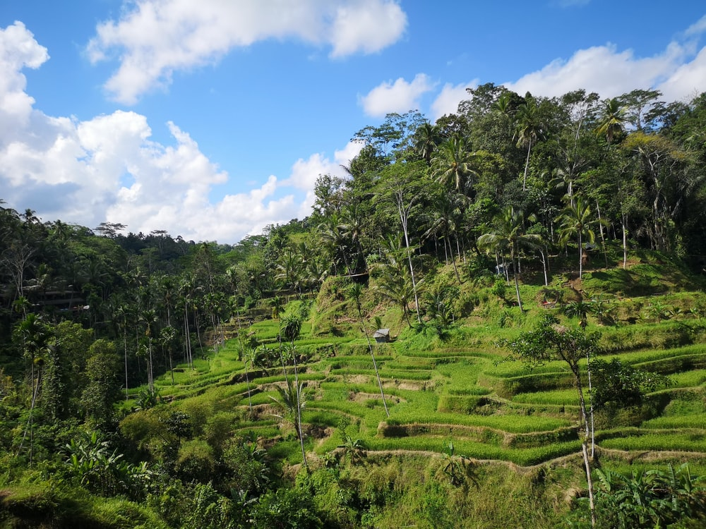rice terraces and trees