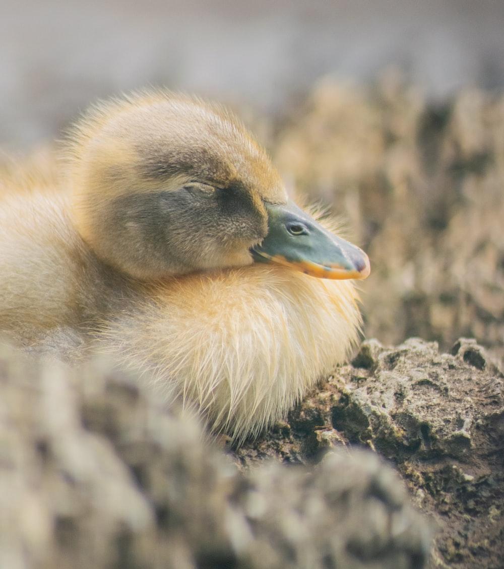 yellow duck on rock