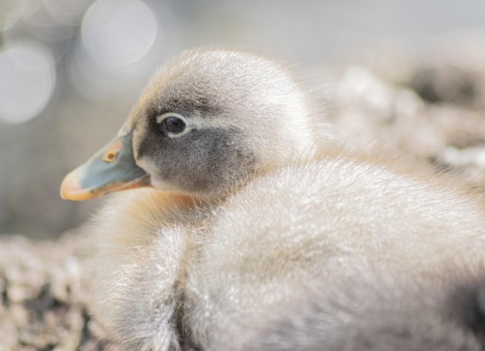 grey duckling