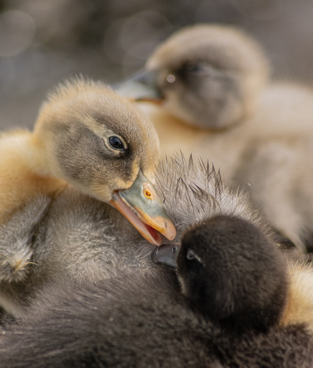 selective focus photography of duckling