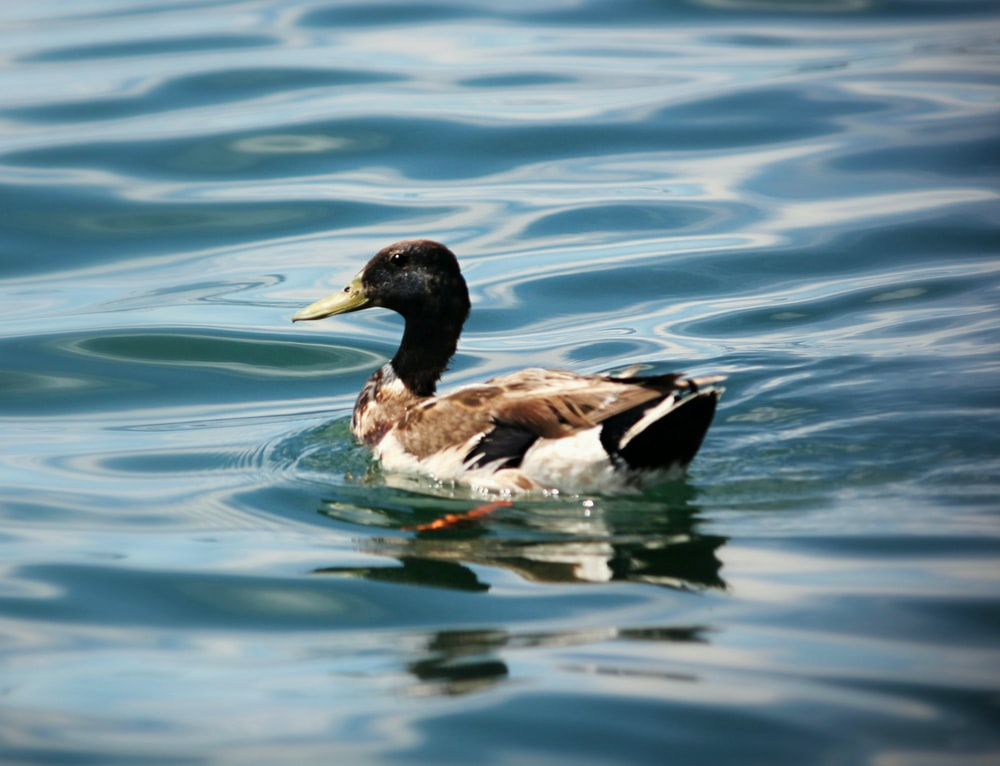 black and brown duck on body of water
