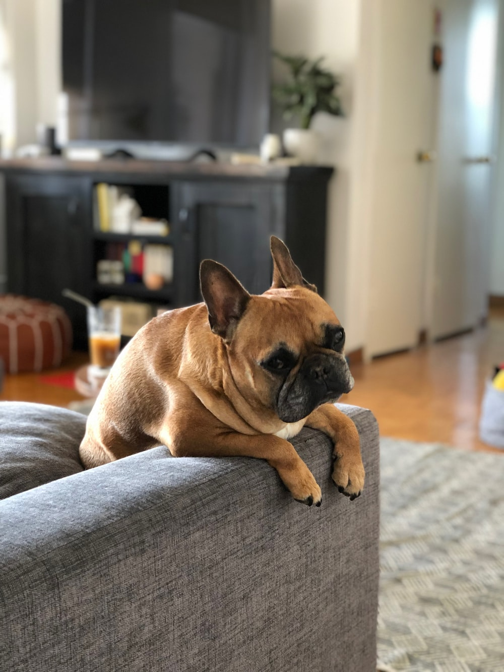 brown pug on gray couch