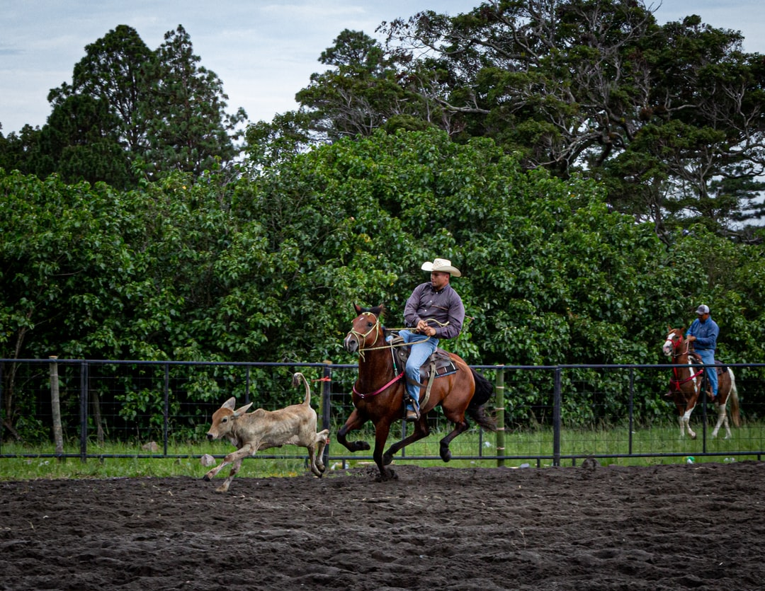 A rider in pursuit of a calf, in a rodeo arena