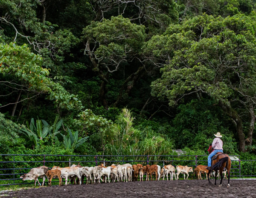 man riding horse in front of cow herd