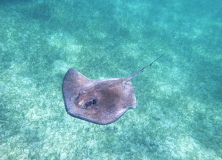 brown stingray in body of water