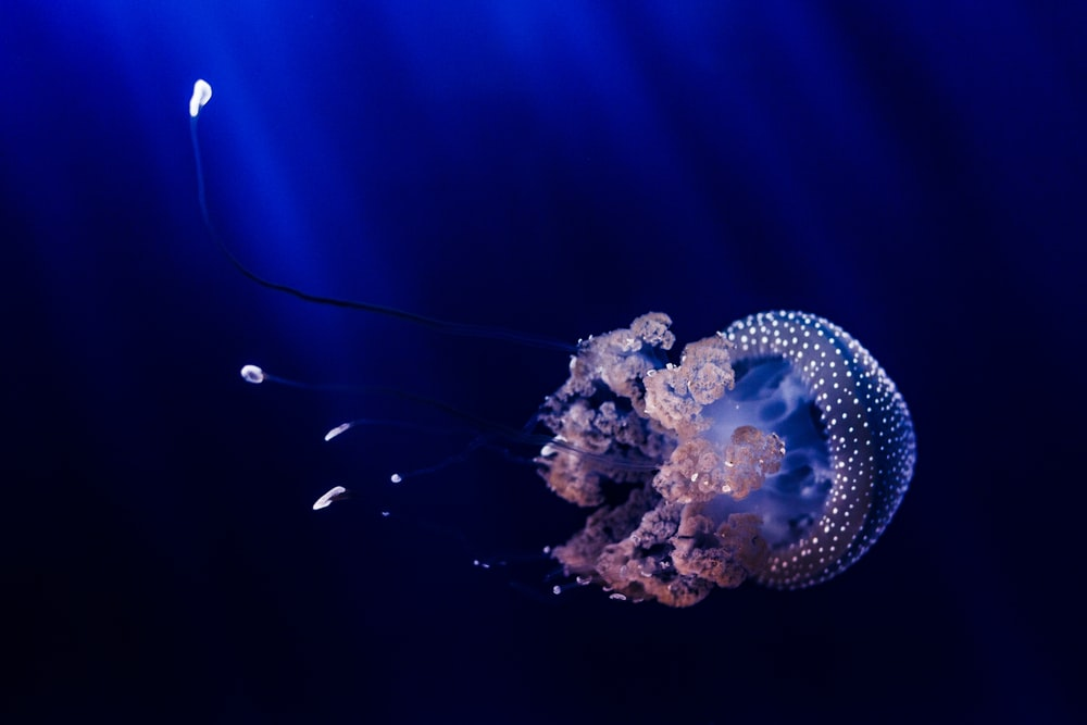 blue and brown jellyfish