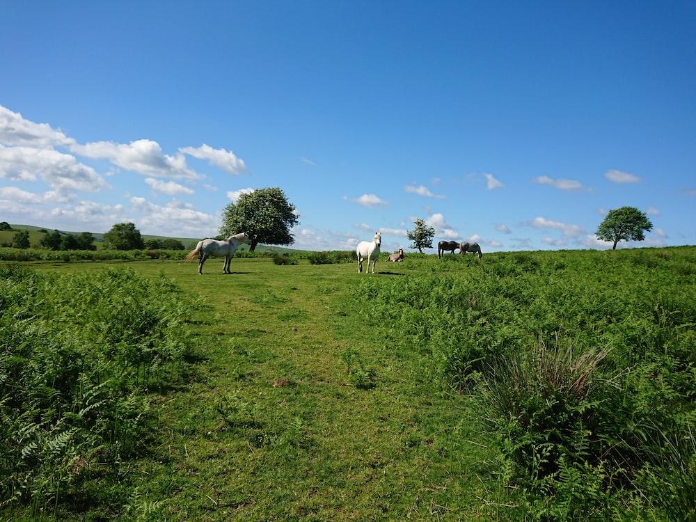 white horses on grass field