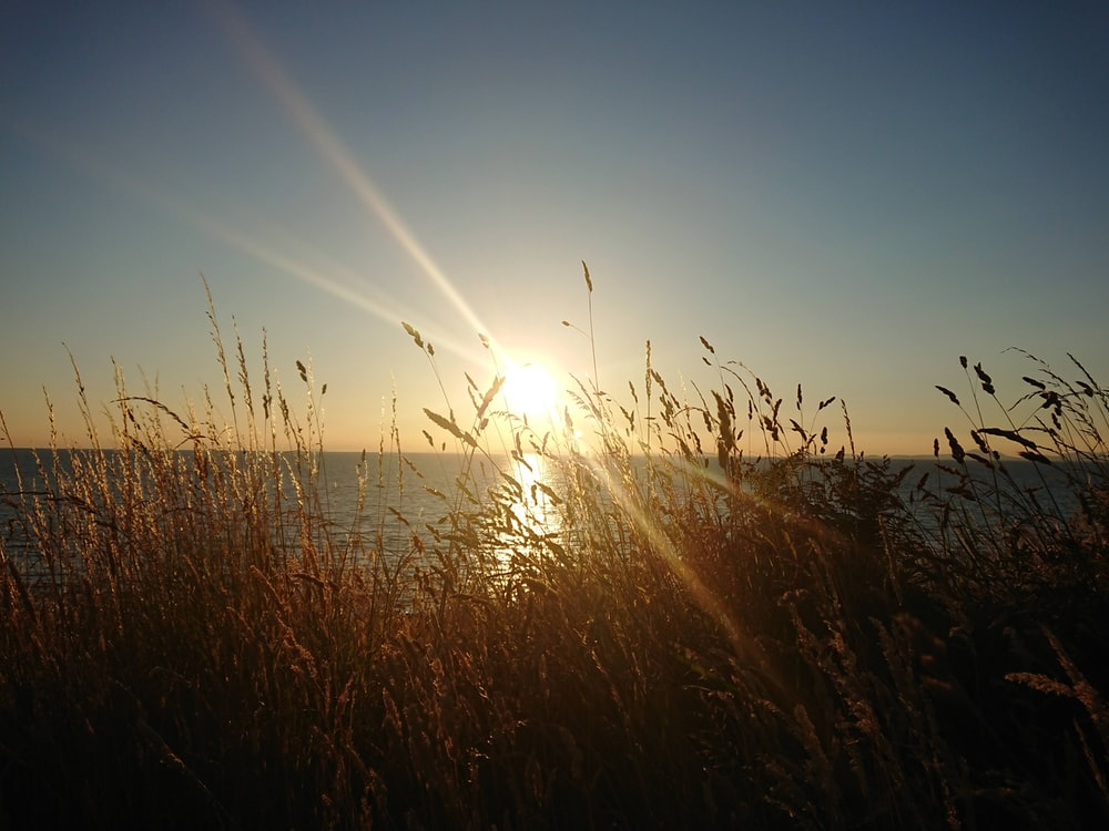 brown wheat field near seashore