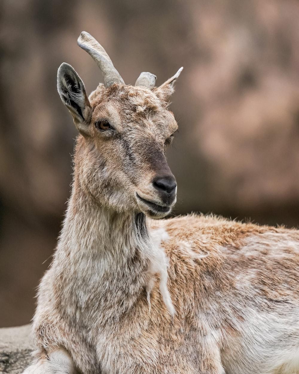 close-up photo of brown deer