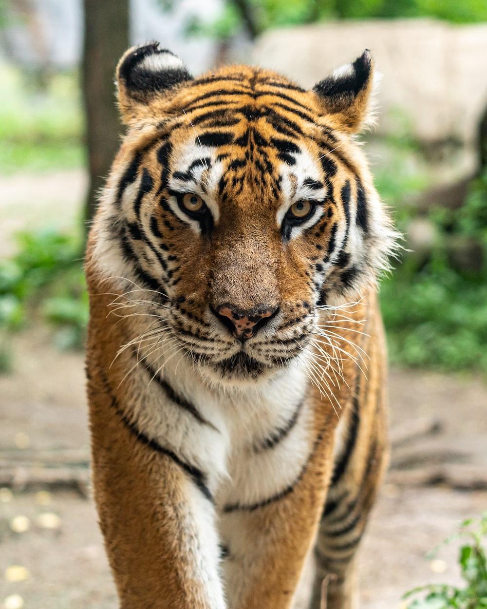 Kuvahaun tulos haulle tiger