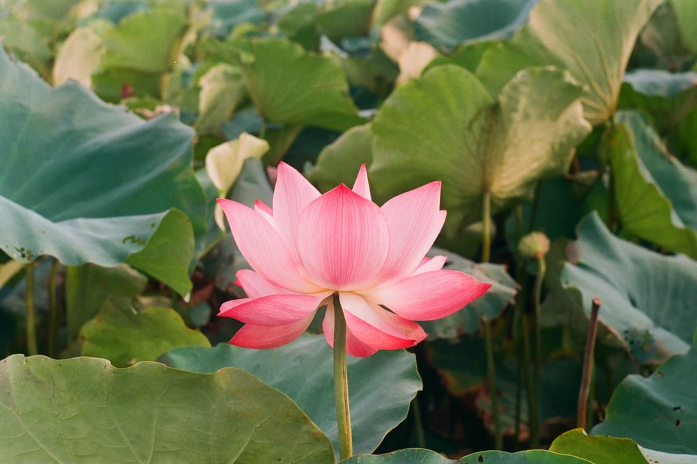 pink lotus flower surrounded with leaves