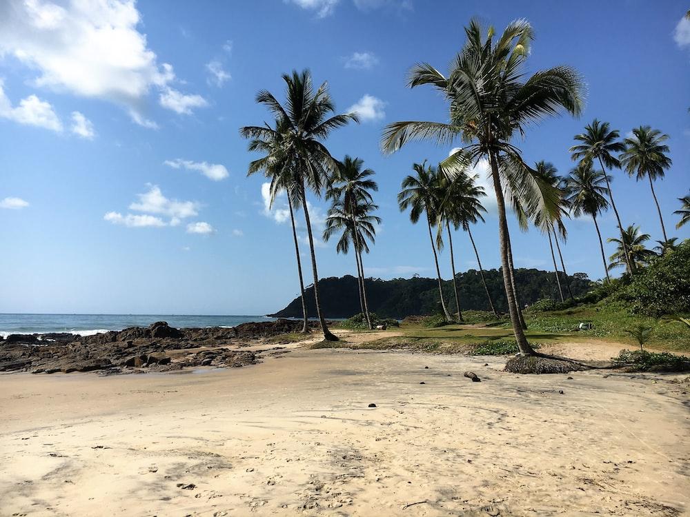 coconut trees near beach line