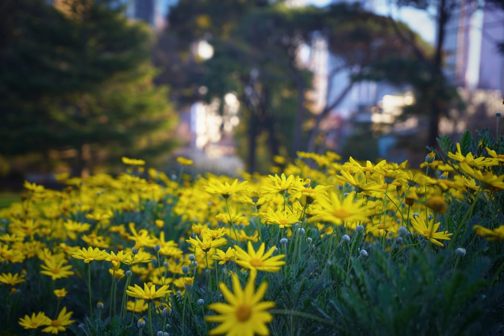 yellow flowers focus photography