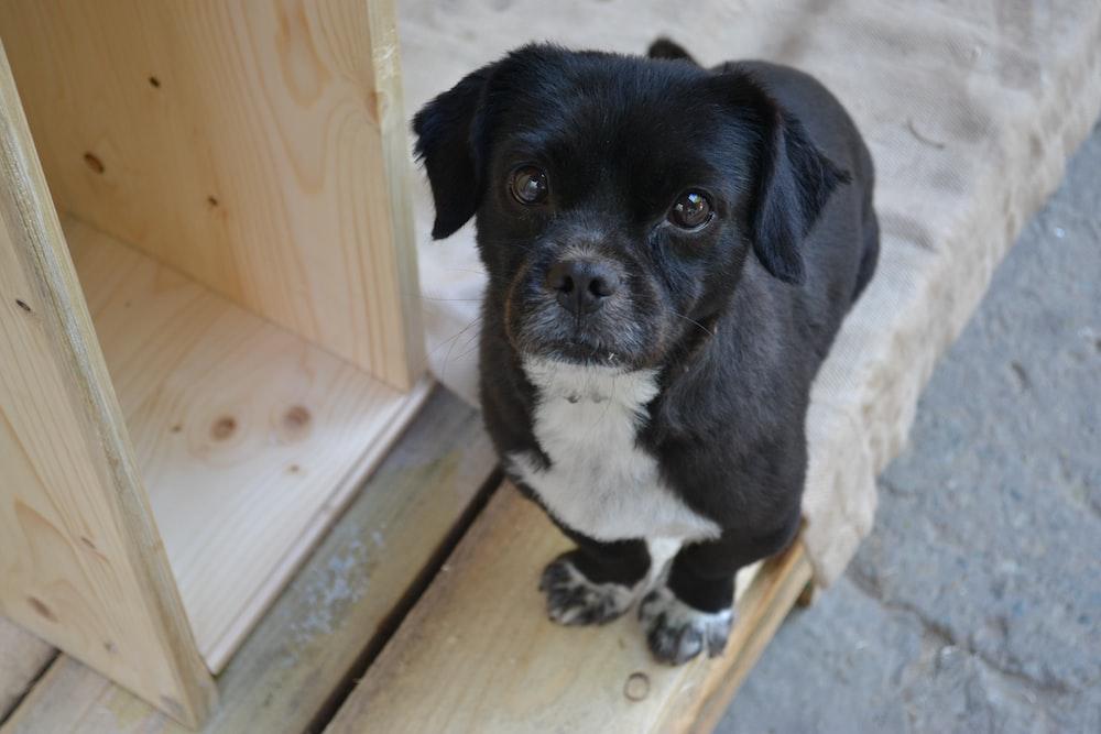 black and white short-coated dog close-up photography
