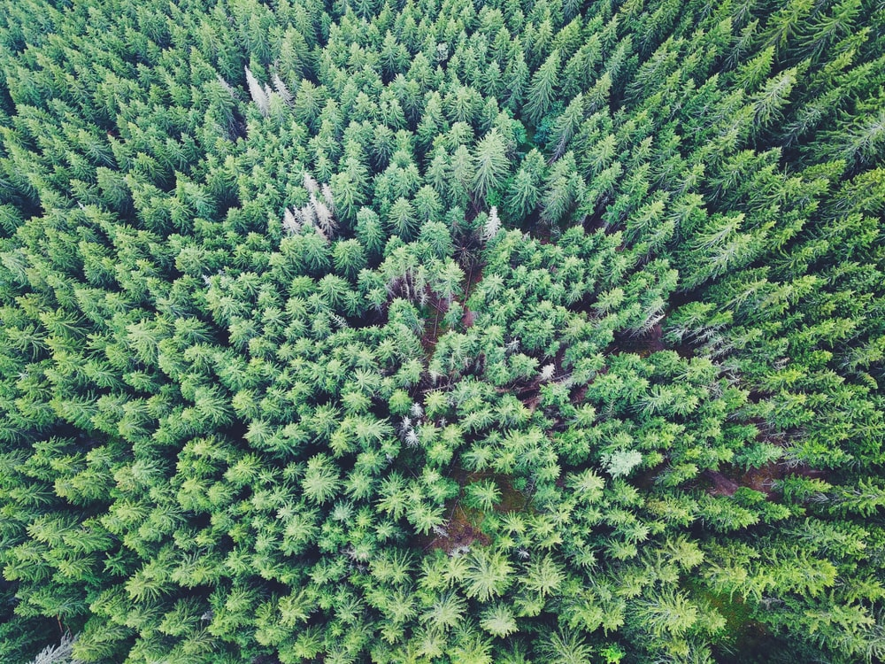 aerial photo of pine trees