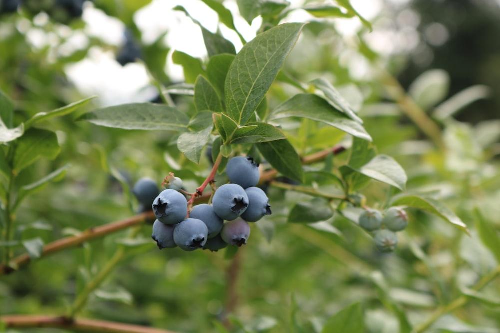 round black fruits