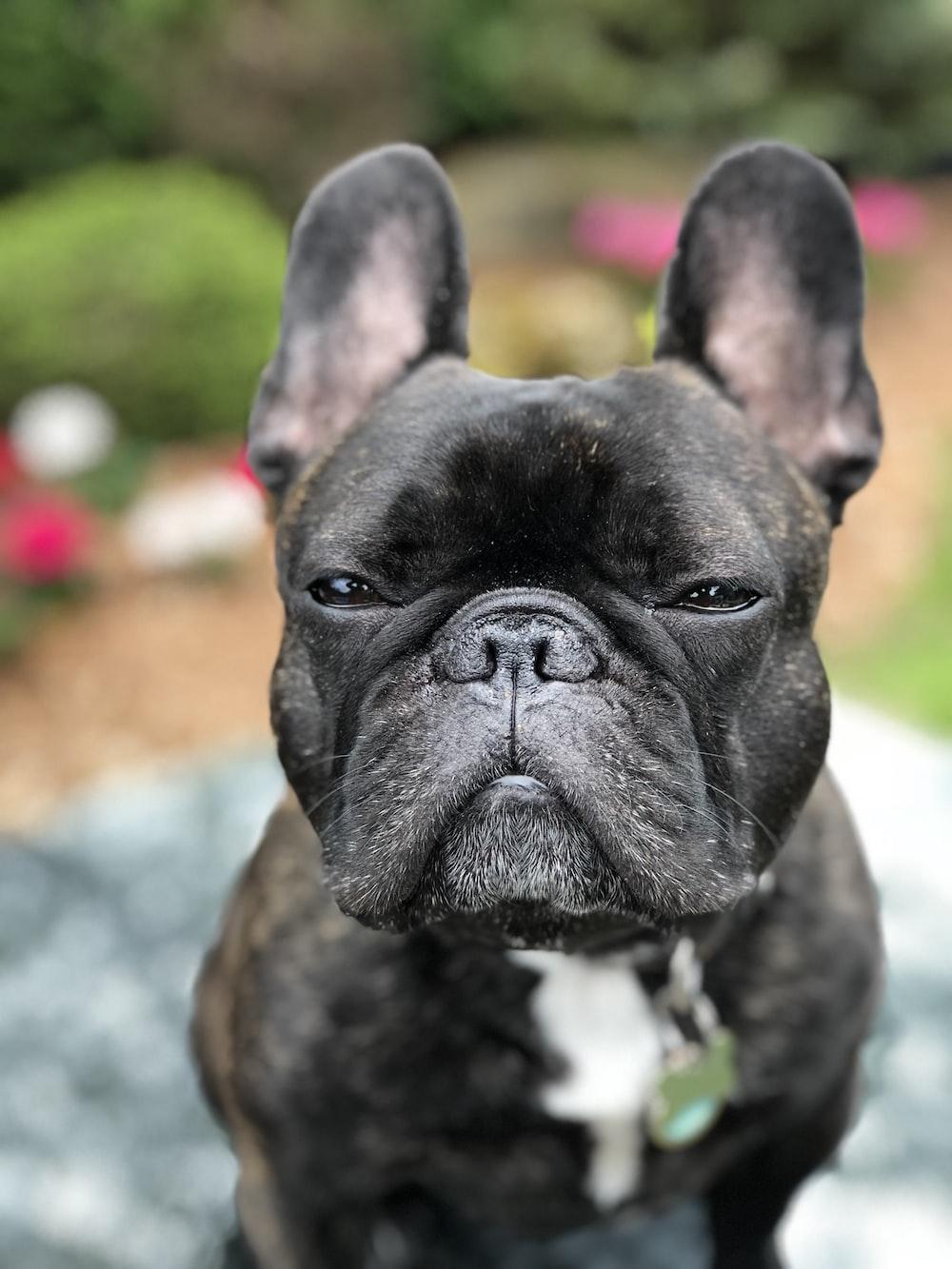 gray French bulldog
