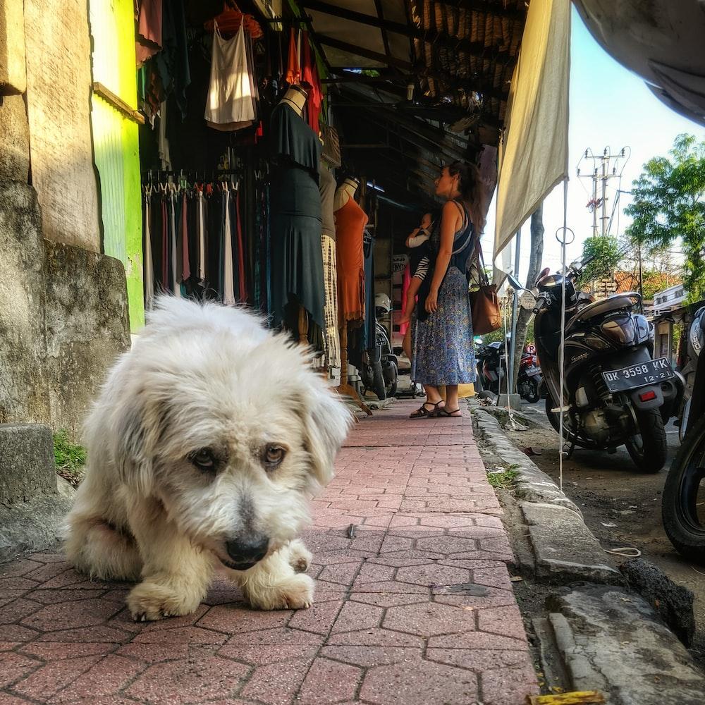 white long coat small dog lying on sidewalk