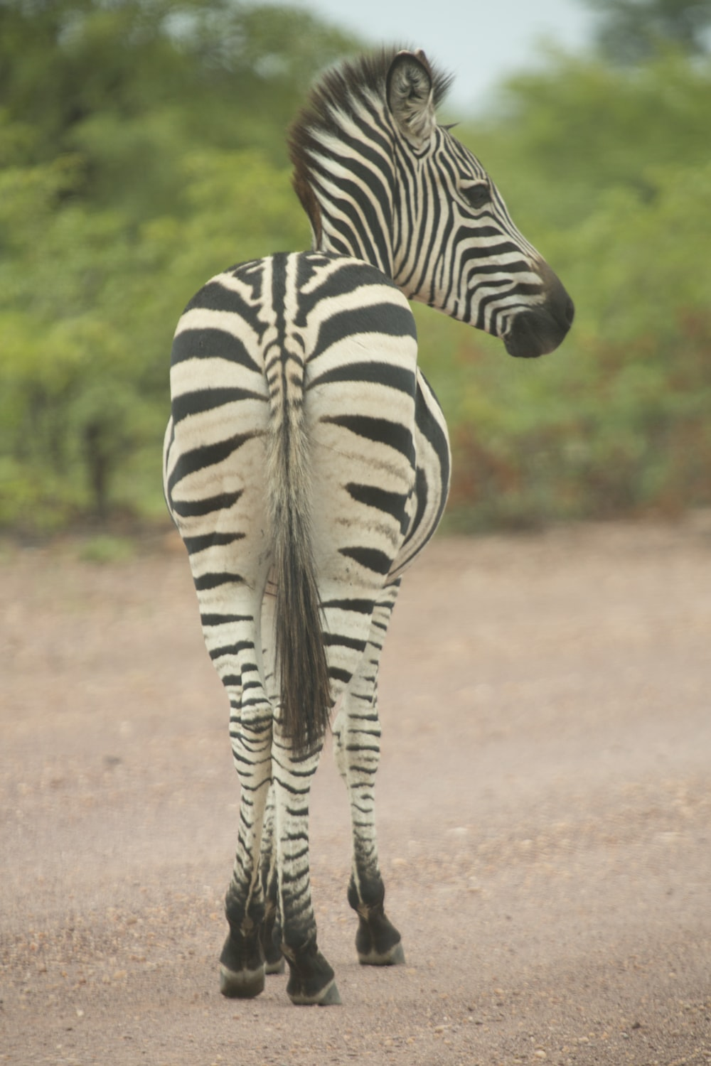 shallow focus photography of zebra