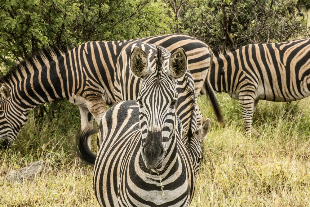 black-and-white zebras eating grass during daytime
