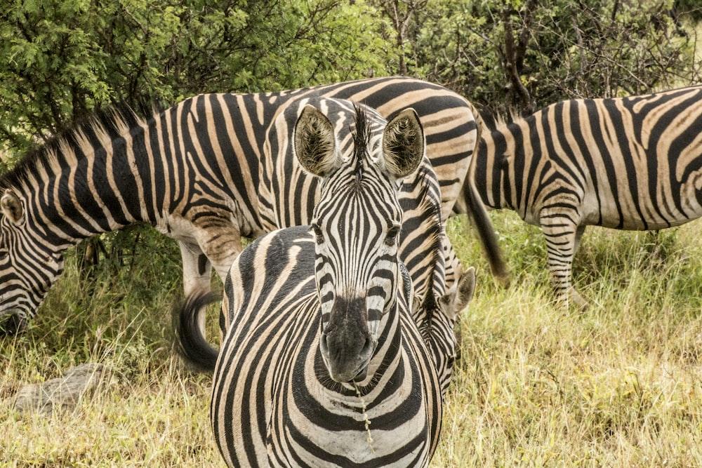 black-and-white zebras eating grass during daytime