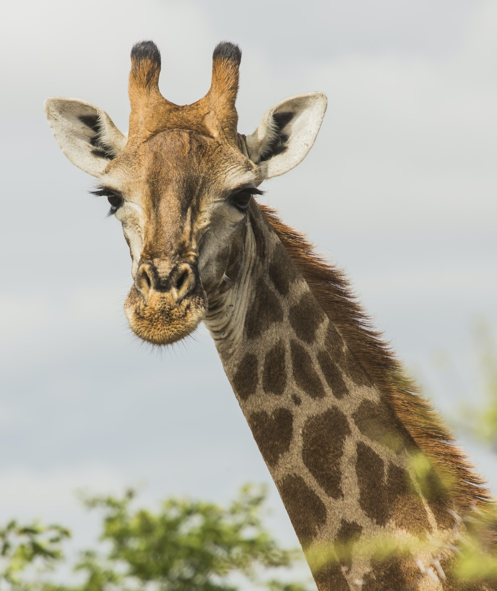 giraffe's face at the open field