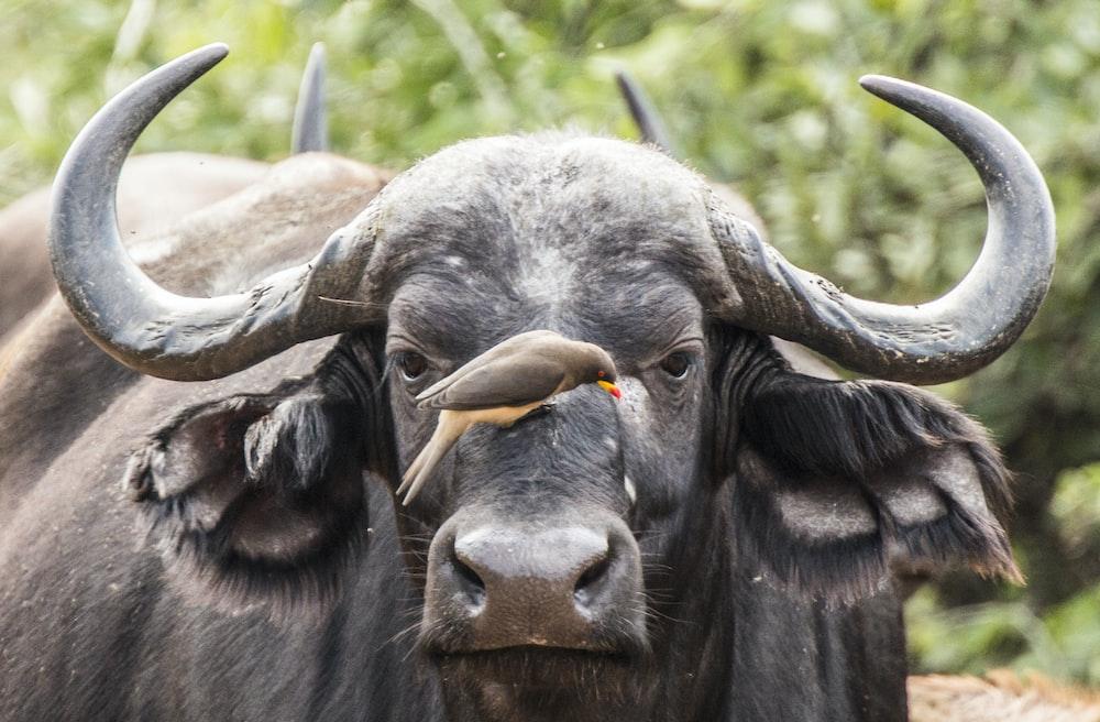bird on black water buffalo face