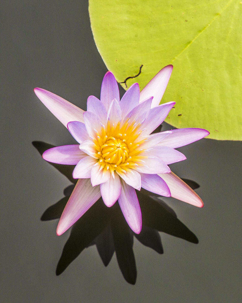 pink and yellowlotus flower in pond