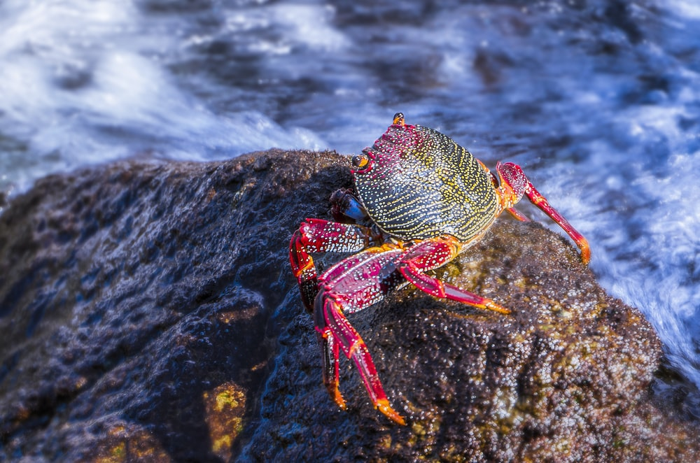 brown and red crab on brown rock in beach