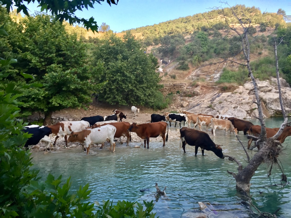 herd of cattle on river