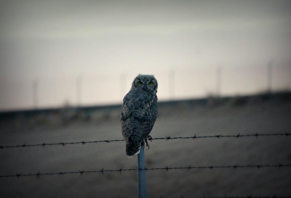grey owl on fence