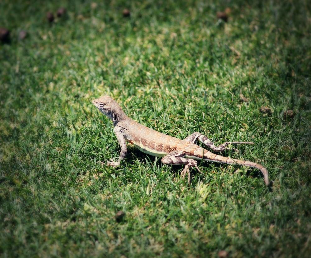 gray lizard on green grasses during daytime