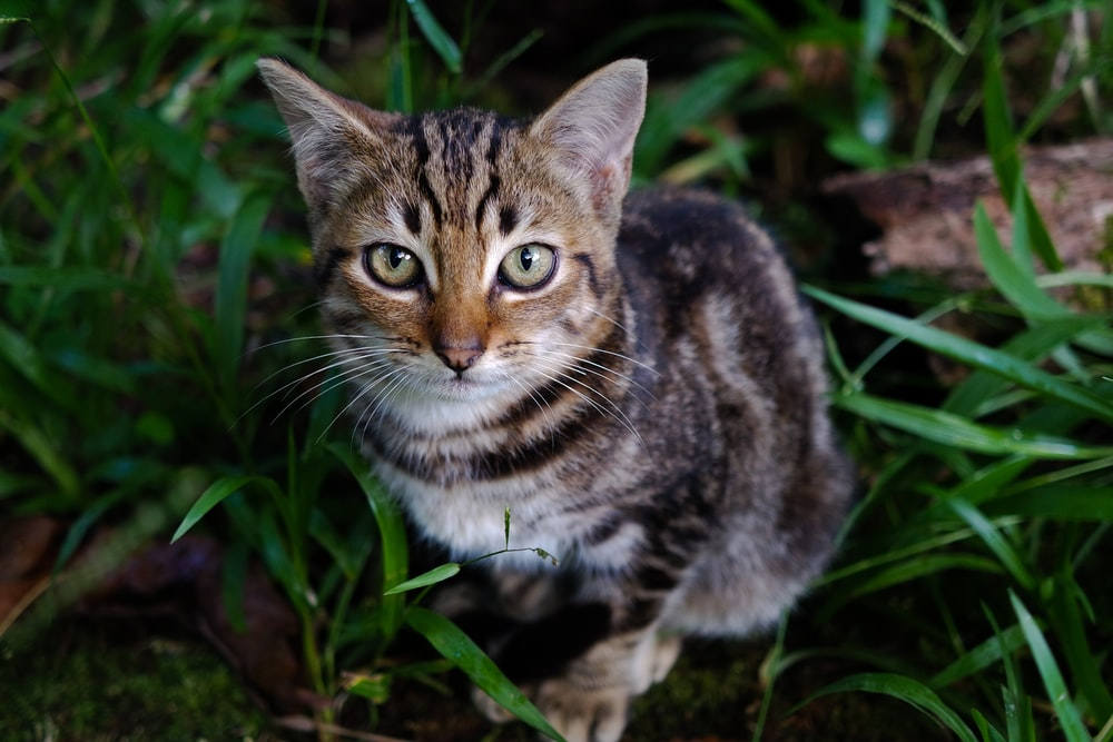 gray tabby cat sitting on green grasses looking up