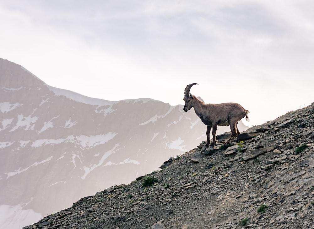 grey mountain goat