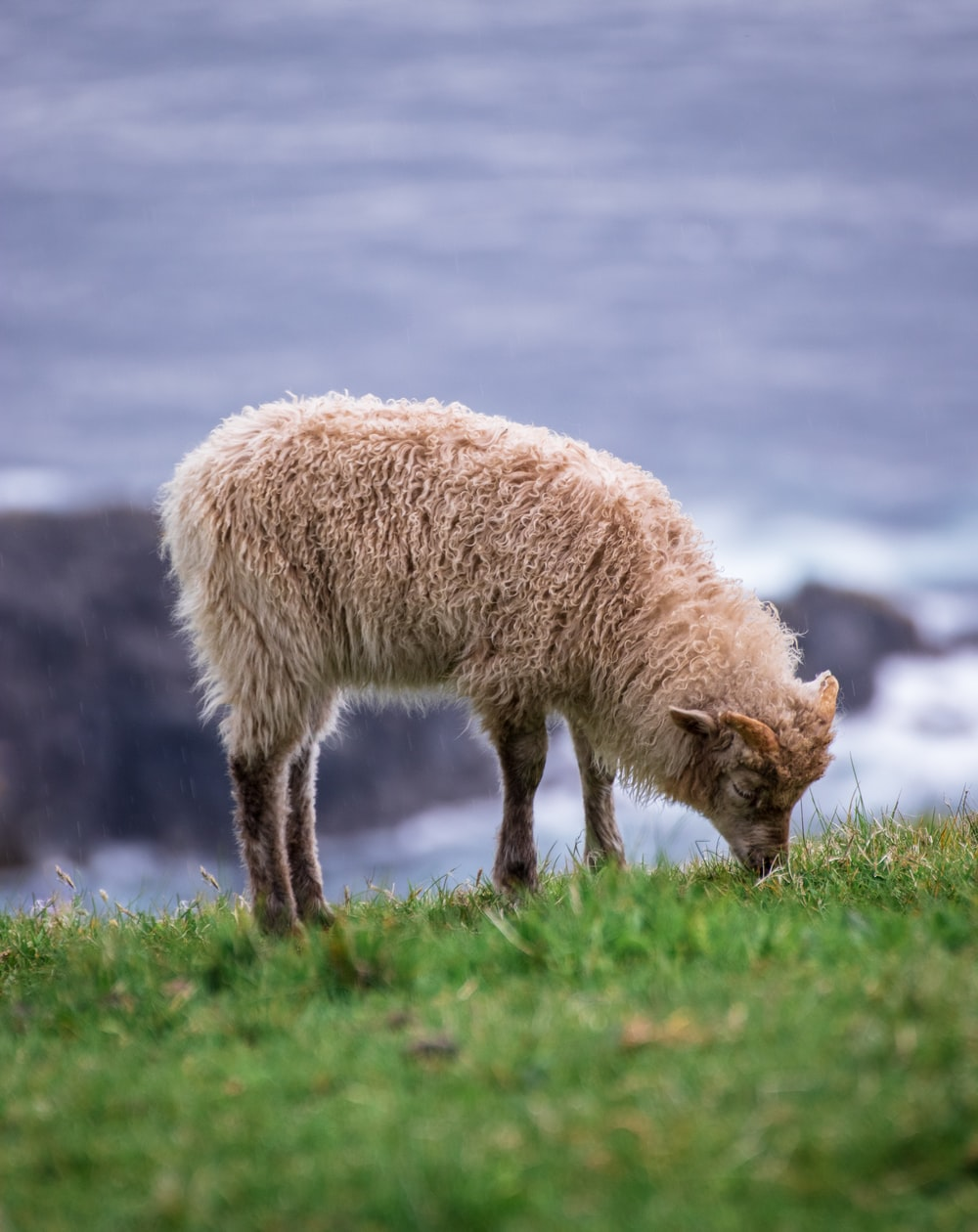 brown lamb on grass field