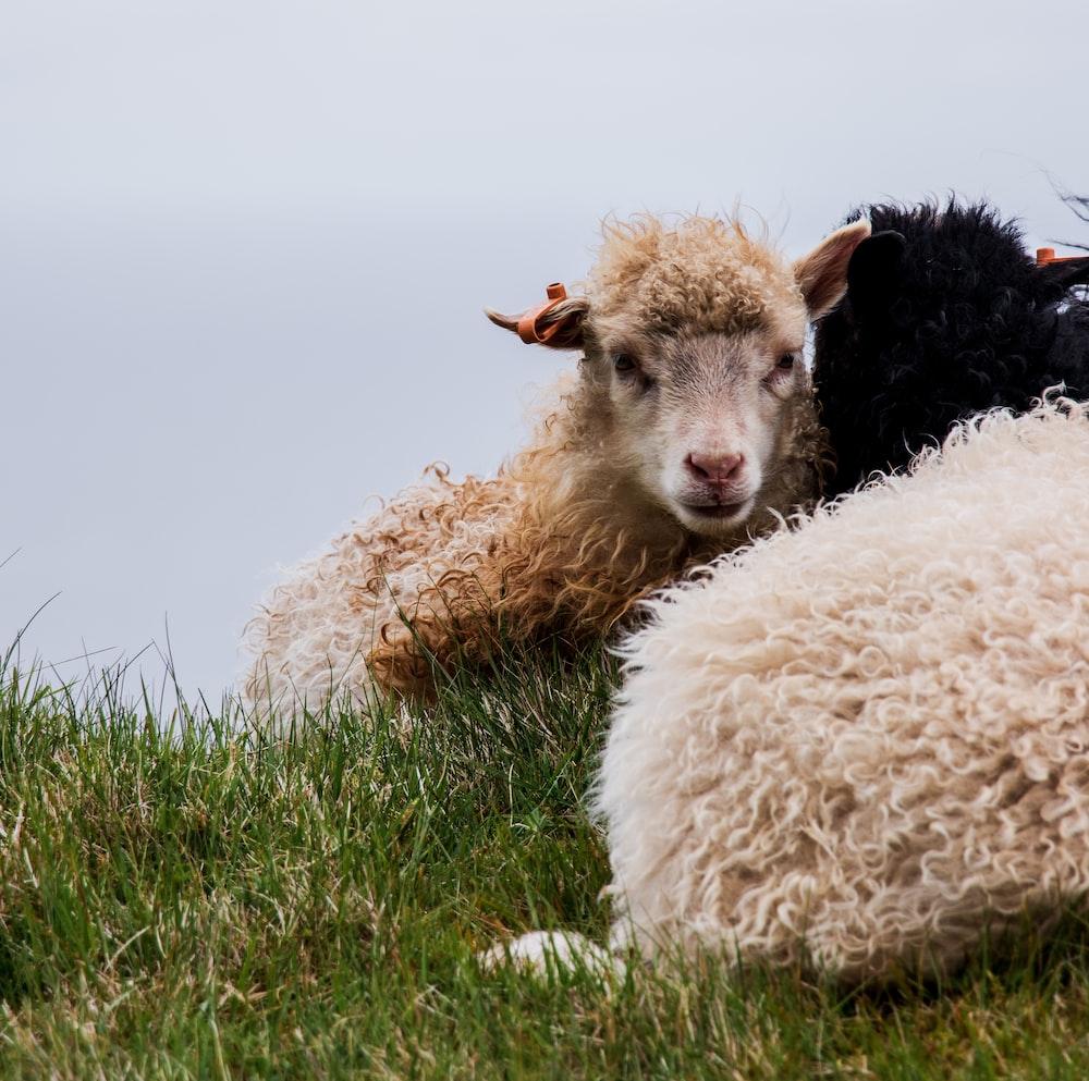 brown sheep on grass