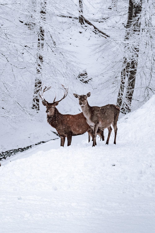 two brown deer on snow