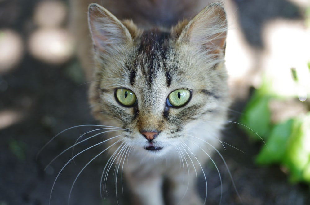 gray tabbby cat