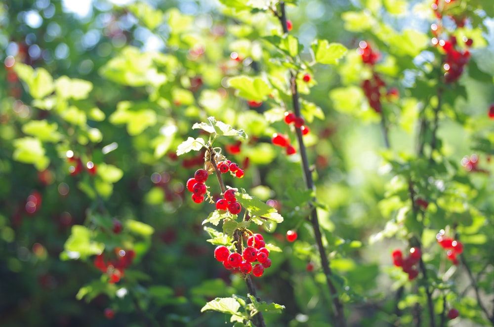 red cherries with green leaves