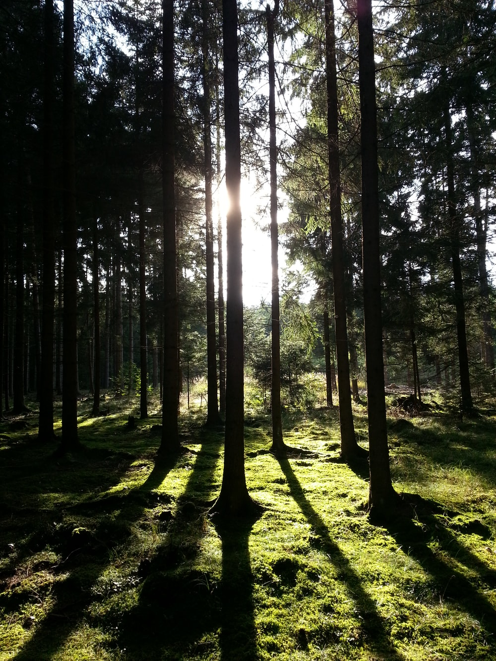 silhouette of trees in forest with sunlight