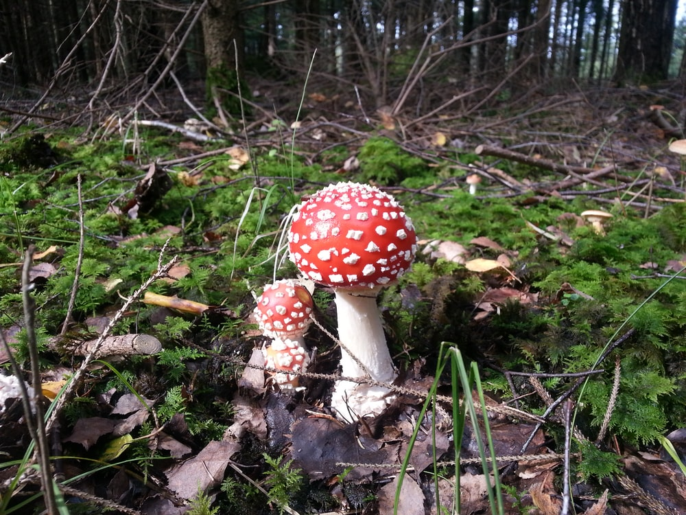 selective focus photography of two red mushrooms