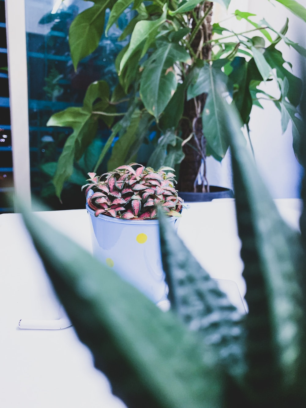 purple-leafed plants and round white plant pot