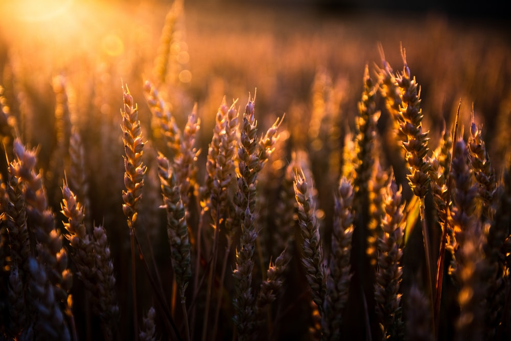 selective focus photography of wheat