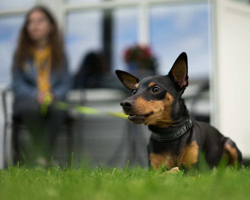 short-coated brown and black dog