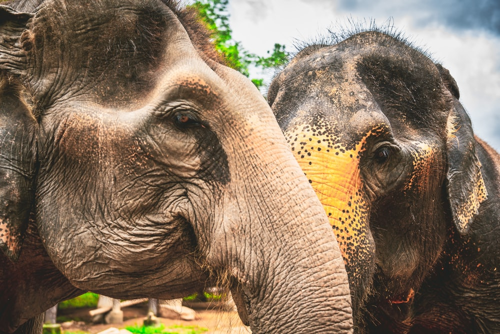 two brown and gray elephants