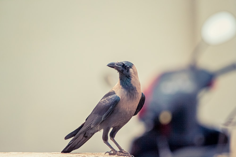 black and white crow focus photography