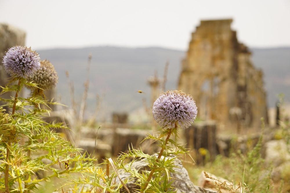 purple-petaled flowers near mountain