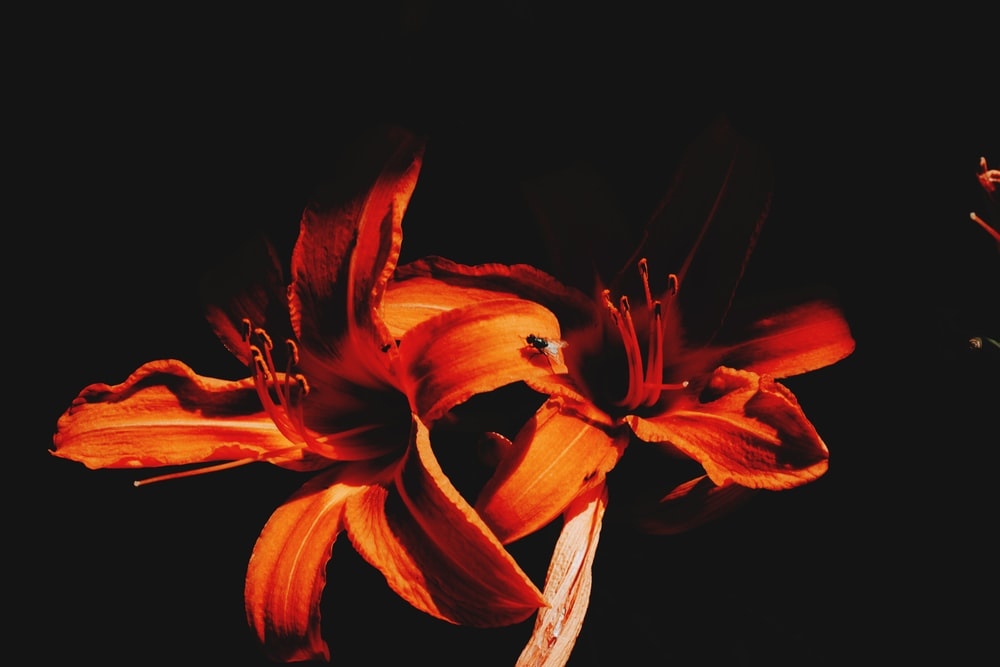 two orange flowers blooming in dark